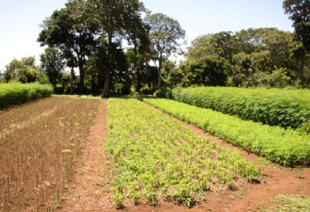 Moringa plantage